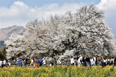 満開を迎えた一心行の大桜