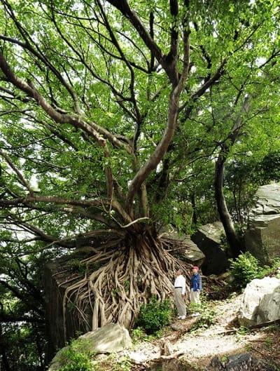 巨大な岩石を包むようにそびえるアコウの木