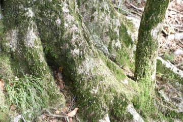 ブナの幹にびっしりと付いたブナハバチの幼虫=31日午後、五ケ瀬町鞍岡