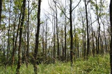 ヤマダカレハによる被害を受けたクヌギ林。ほとんどの樹木の葉が食い荒らされている=8日午後、美郷町北郷