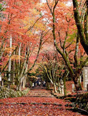 紅葉と落葉のレッドカーペットが見ごろを迎えている鶏足寺(長浜市木之本町古橋)