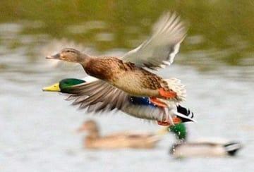 宮崎市佐土原町下田島の池に飛来している野鳥。鳥インフルエンザの拡大リスクを減らすため、不用意に近づかないよう専門家は求める=22日午後