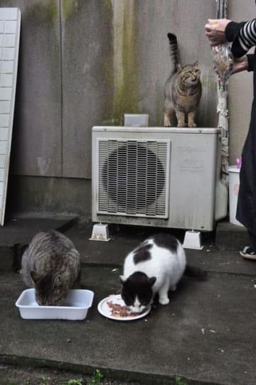 猫に不妊手術をして餌を与えるなど世話をする「地域猫」活動。野良猫の数は減ってきたという=宮崎市青葉町