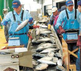 カツオの初水揚げに沸く大船渡市魚市場