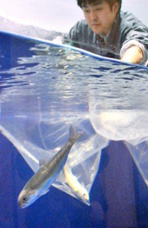 仙北市田沢湖クニマス未来館で、水槽に放たれるクニマス=14日、秋田県仙北市