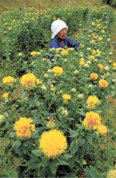 収穫の時期を迎えた村田町ゆかりの紅花