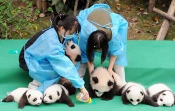 中国四川省の成都パンダ繁殖育成研究基地でお披露目された赤ちゃんパンダ=29日(共同)