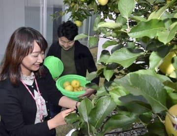 十和田市現代美術館の中庭にあるオノ・ヨーコさんの作品「念願の木」からリンゴの実を収穫するスタッフ