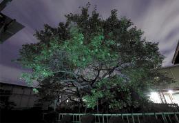 晩年に住んだ若林城跡(現宮城刑務所)に残る臥竜梅。接ぎ木をされ、推定の樹齢は約260年。元の木は1592年、朝鮮出兵の際に持ち帰り当初は仙台城に植えたとされる=仙台市若林区