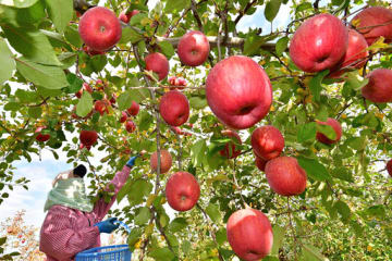 赤く色づいたふじが収穫期を迎えている弘前市のリンゴ園=3日午後、同市小沢