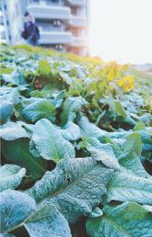 初霜でうっすら白くなった道路沿いの葉=20日午前7時ごろ、仙台市太白区大野田