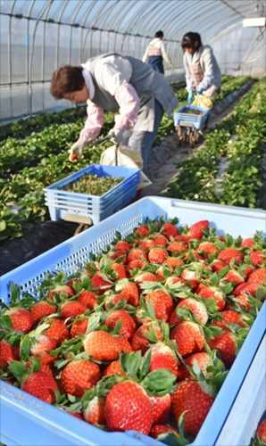 本格化したイチゴの収穫作業=13日午前8時50分、真岡市長沼