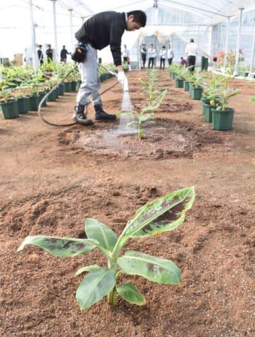 川南町平田のビニールハウスで栽培が始まったバナナ