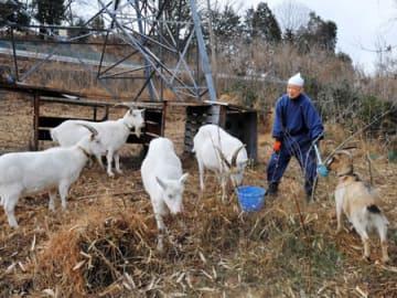 瑞泉寺別院で除草のために飼うヤギの世話をする小塚文哲さん(愛知県犬山市)