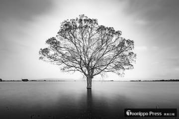 「鶴田のマザーツリー」