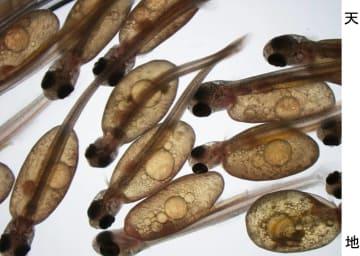 代理親の精子と卵からふ化したクニマスの稚魚(山梨県水産技術センター提供)