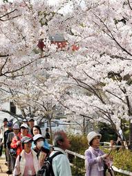 満開の桜の下を散策する参加者たち=須磨寺公園