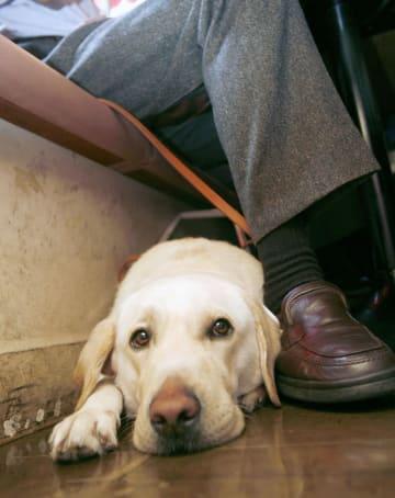 飲食店で食事をする視覚障害者に同伴する盲導犬=東京都内(アイメイト協会提供)