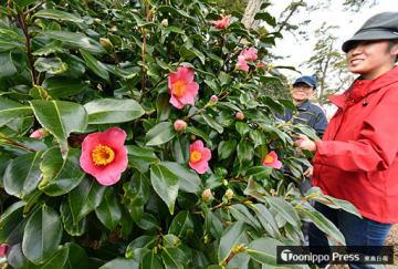 淡い赤い花が次々に開き、見頃が近い「北限のツバキ」=5日、平内町の椿山