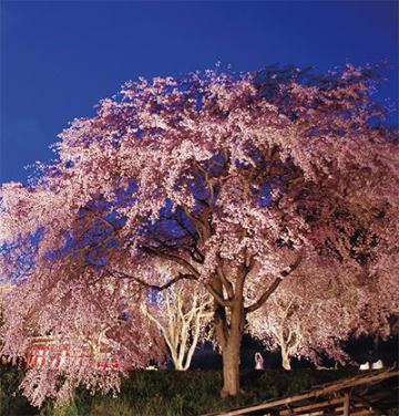 ドーム状に枝を垂らし、ライトアップされた滝桜(3月31日撮影)