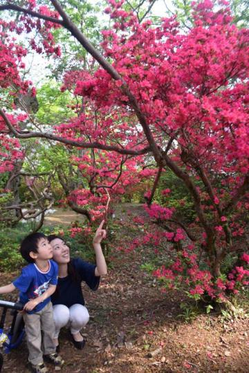 満開を迎えた色鮮やかなツツジを眺める親子=野田市の清水公園