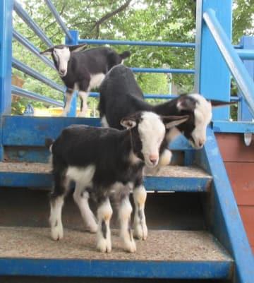 """黒と白の""""牛模様""""の毛並みが話題のヤギの三つ子=野田市の清水公園"""