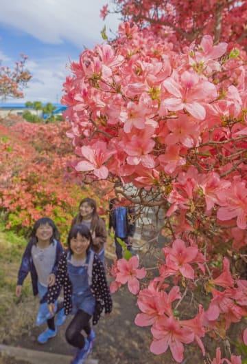 見頃を迎えた天王神社のツツジ。多くの観光客が訪れ、咲き誇る花々をじっくりと眺めた=5日午後2時45分ごろ、七戸町七戸