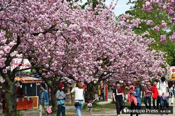 関山など遅咲きの桜が満開に咲き誇る中、閉幕した弘前さくらまつり=6日午後2時20分ごろ