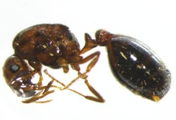 大阪府八尾市の民家で見つかったヒアリの死骸(環境省提供)