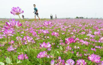 一面に広がるレンゲソウの花畑=坂東市矢作
