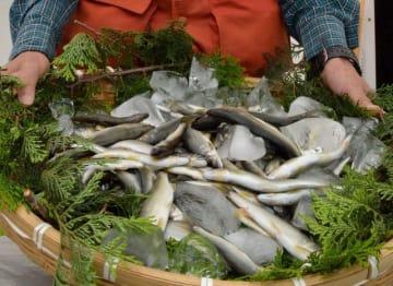 アユ解禁に先立ち行われた試し釣りの釣果を持つ酒匂川漁業協同組合の組合員=小田原市