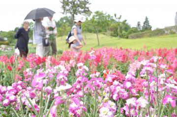 ストック(手前)など色とりどりの花が咲いている=牛久市久野町