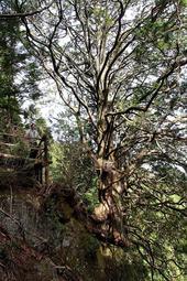 崖にせり出した幹から天に伸びる「天狗のとまり木」=神河町長谷