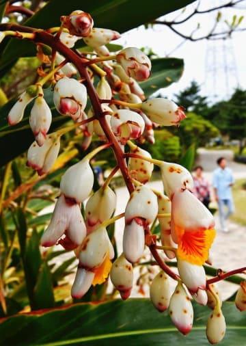 日差しが照り付ける中、花を咲かせるゲットウ=20日、読谷村座喜味(国吉聡志撮影)