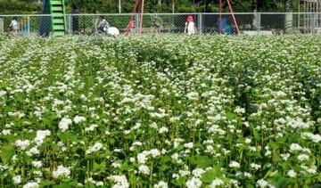 長生村役場周辺の畑で見頃を迎えているソバの花