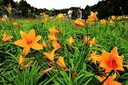 ゲレンデに彩りを添えるニッコウキスゲ=28日午前、神戸市灘区六甲山町北六甲、六甲山カンツリーハウス