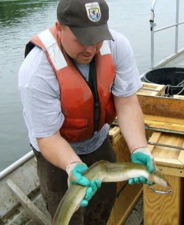 絶滅が心配されているアメリカウナギ(米魚類野生生物局提供)