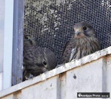 ハヤブサ科の野鳥・チョウゲンボウの幼鳥3羽。農家の小屋にある窓枠で親鳥に育てられ、巣立ちの時期を迎えた=26日、田舎館村内