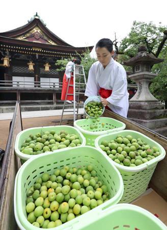 国宝の社殿前で大福梅に用いる梅を収穫する巫女ら(31日午前10時17分、京都市上京区・北野天満宮)