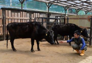 宇都宮動物園の「口之島牛」。手前の牛に人工授精を試みた=31日午前、宇都宮市上金井町