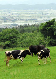 市街地を望む牧場を駆け回る牛