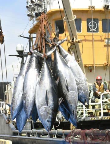 鳥取県の境港で水揚げされるクロマグロ=4日
