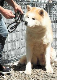 新しい飼い主を待つ疾風(一般社団法人ワン・フォー・アキタ提供)