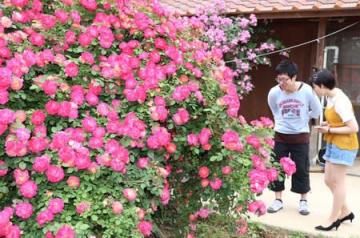 約300種が咲き誇る「さかや農園」のバラ園=6日、佐渡市