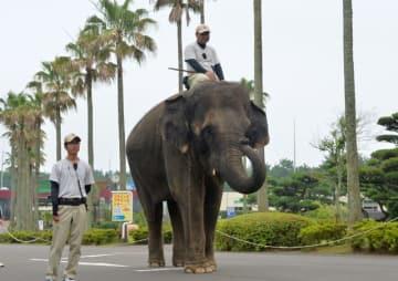 神戸市立王子動物園への嫁入りが決まったアジアゾウの「みどり」=7日午後、宮崎市フェニックス自然動物園