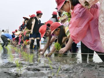 「奇跡の復興米」の田植えをする児童ら=8日、大阪府富田林市