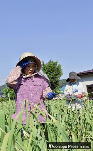 厳しい暑さの中、ニンニクの茎の摘み取りに精を出す農家=4日午後、田子町原