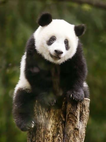1歳の誕生日を迎えたジャイアントパンダの子ども、シャンシャン=12日午前、東京・上野動物園
