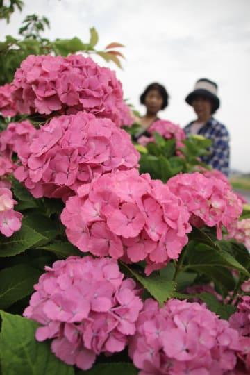 鮮やかなピンクの花をつけたアジサイ=阿南市那賀川町島尻