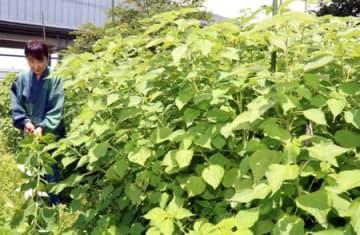 茎が1.6メートルほどに成長し、刈り取り時期を迎えた苧麻(滋賀県愛荘町)
